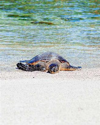 Sea Turtles of Hilton Head Island